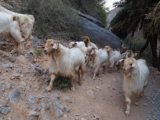 the goats aren't pleased that we're blocking their path