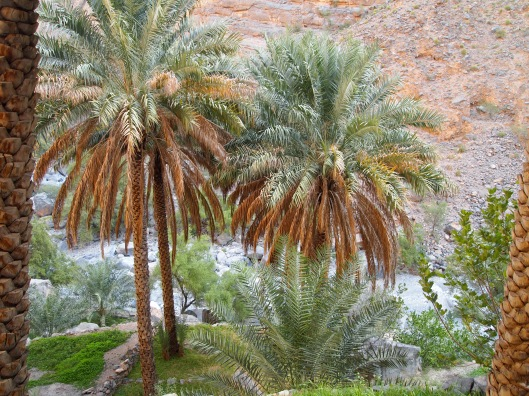 the date palm plantations along wadi tanuf