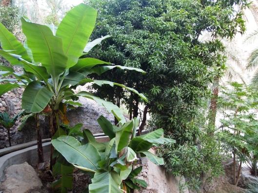 banana trees and mango trees