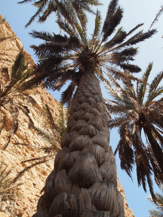 a dried out palm tree at Wadi Shab