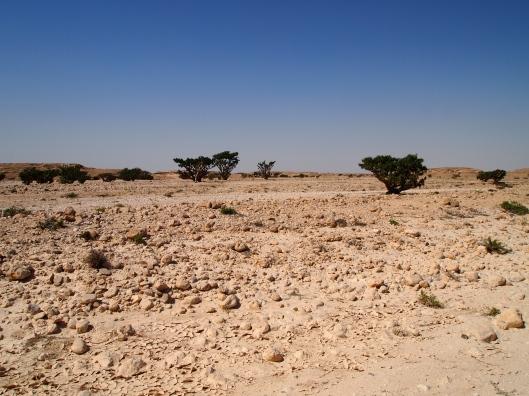 Frankincense trees in Wadi Dawkah, north of Salalah
