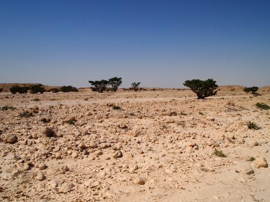 Frankincense trees in Wadi Dawkah, north of Salalah