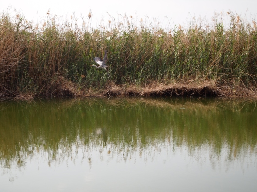 a bird takes flight from the reeds in the grounds of the Museum of the Frankincense Land
