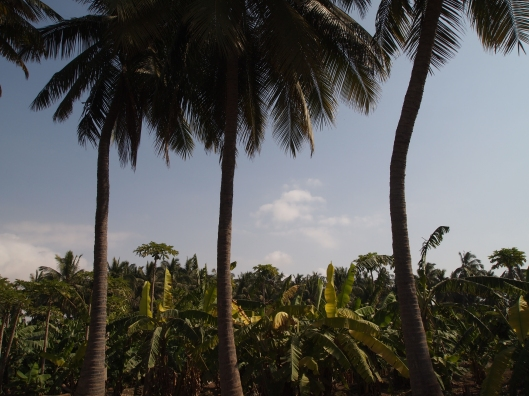 coconut plantations