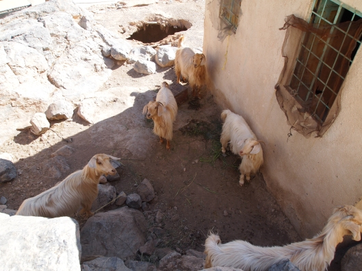 goats in the village of Al Far