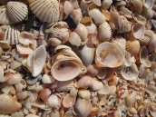 seashells by the seashore, Al Musanah, Oman