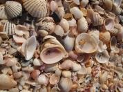 seashells by the seashore, Al Musanah, Oman