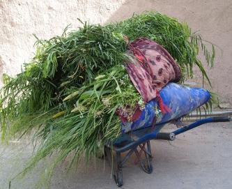 fruits of labor in Birkat al Mouz, Oman