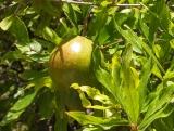 pomegranate at Wekan, Oman