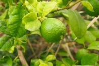 limes at BidBid, Oman