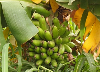 green bananas at Misfat al Abriyyen, Oman