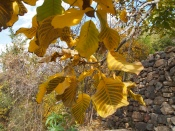 yellow leaves on Jebel Akhdar