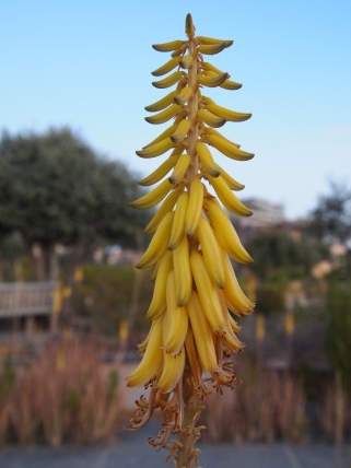 yellow aloe vera flowers at the Sahab