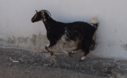 this little goat went galloping past me