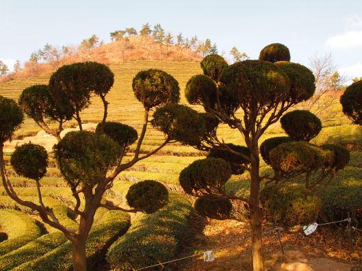 the tea plantations near Boseong, South Korea