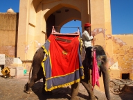 elephant in Jaipur, India