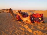Camels in Jaisalmer, India