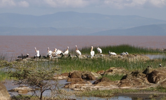 pelicans and cormorants along the shores of lake langano in ethiopia