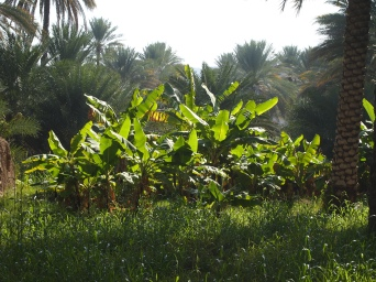 plantations at Birkat al Mouz, Oman