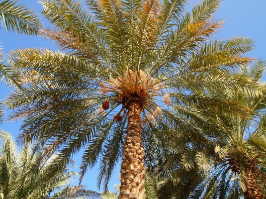 a date palm, everywhere in Oman