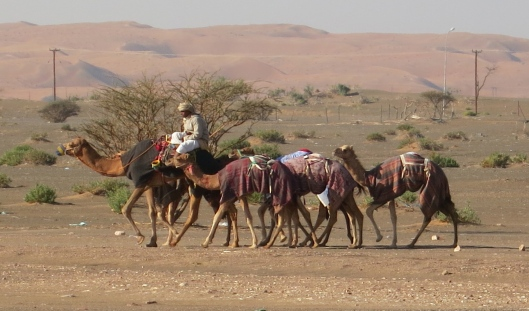 multiples of camels near Sharqiya Sands