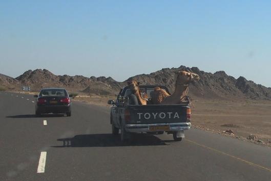 cruising camels