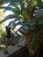 Alex poses reaching for bananas