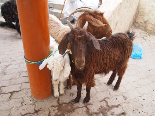 goats at the goat market