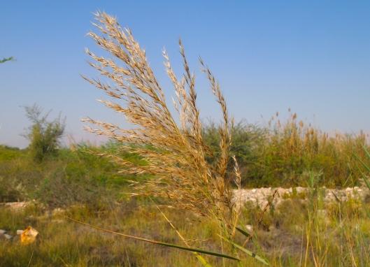ornamental grasses in the Al Amerat wetlands