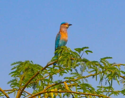a lovely Indian roller