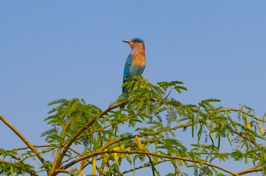 our very accommodating Indian roller