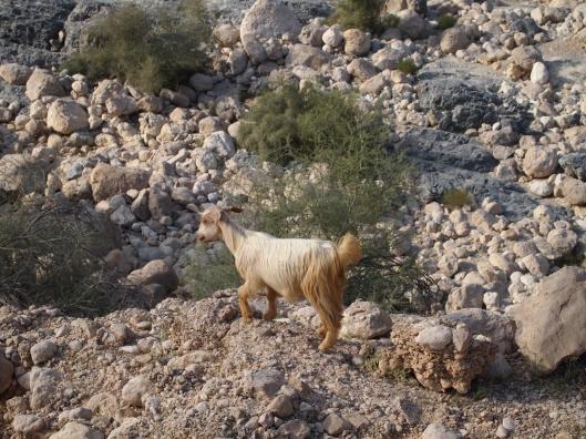 another little goat friend