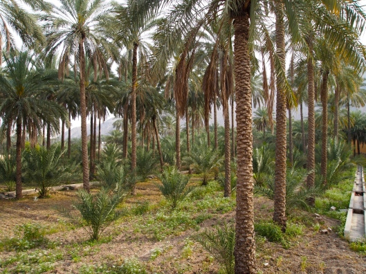 a date palm plantation near the fort