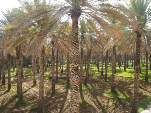 shadows at angles from date palms