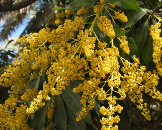 sweet desire: mango blooms promise delectable fruit