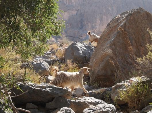 more goat friends