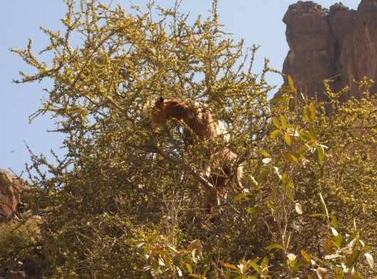 a goat up in a tree nibbling furiously on flowers in the upper branches