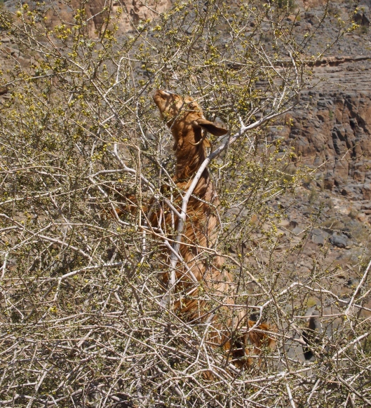 nibbling tree-climbing goat