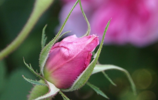 a pink, pink bud