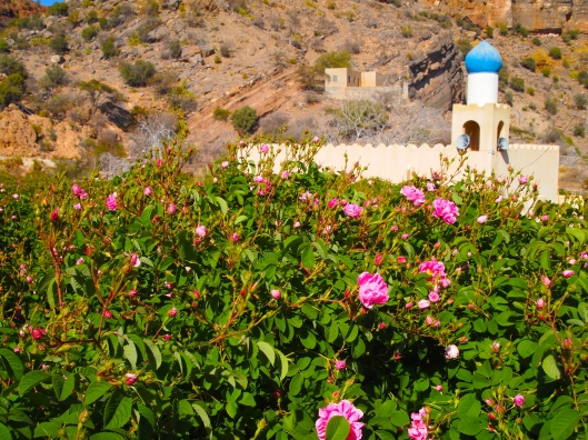 the rose bushes in front of the mosque in Al Aqr