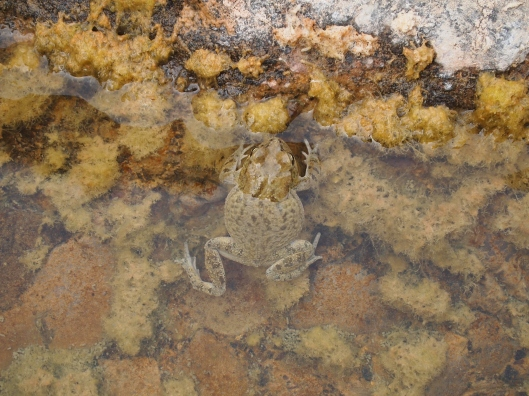 a frog in an algae-filled pool at Wadi Muyadin
