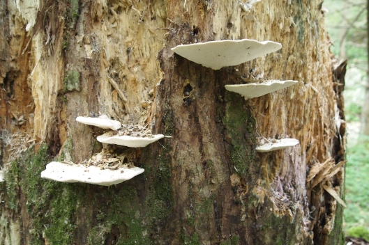 mushrooms on a tree at Swallowtail Falls near Deep Creek, Maryland