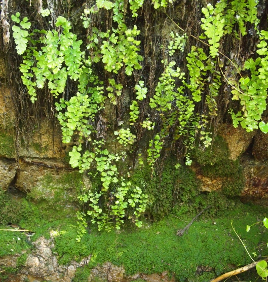 a fern & moss filled grotto at Birkat al Mouz in Oman