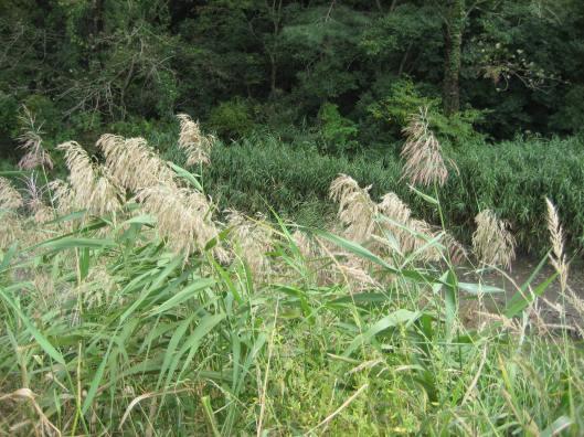 Pale grasses at Suncheon Bay, South Korea
