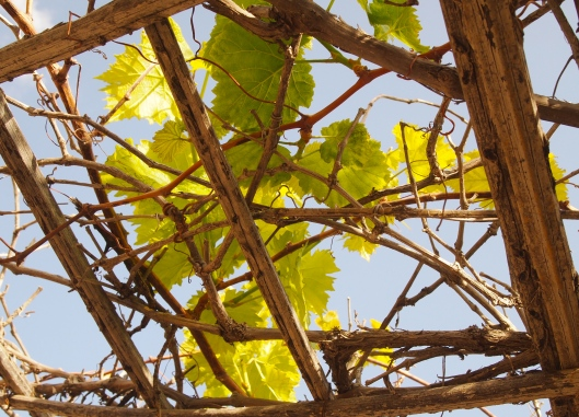 grapevines on the trellis