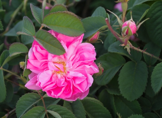 roses in full bloom