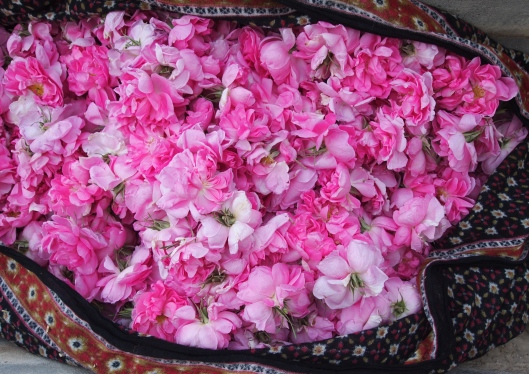 collecting roses for rosewater