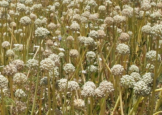 pale onion plants in Wekan, Oman