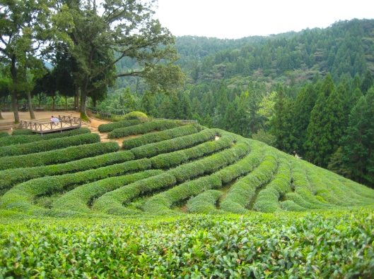 Boseong Tea Plantations in South Korea