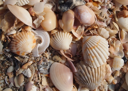 Seashells on the beach at Al Musanaah in Oman